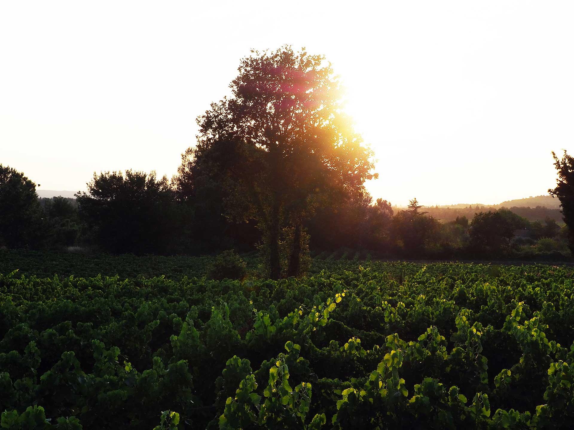 vigne couché de soleil au domaine