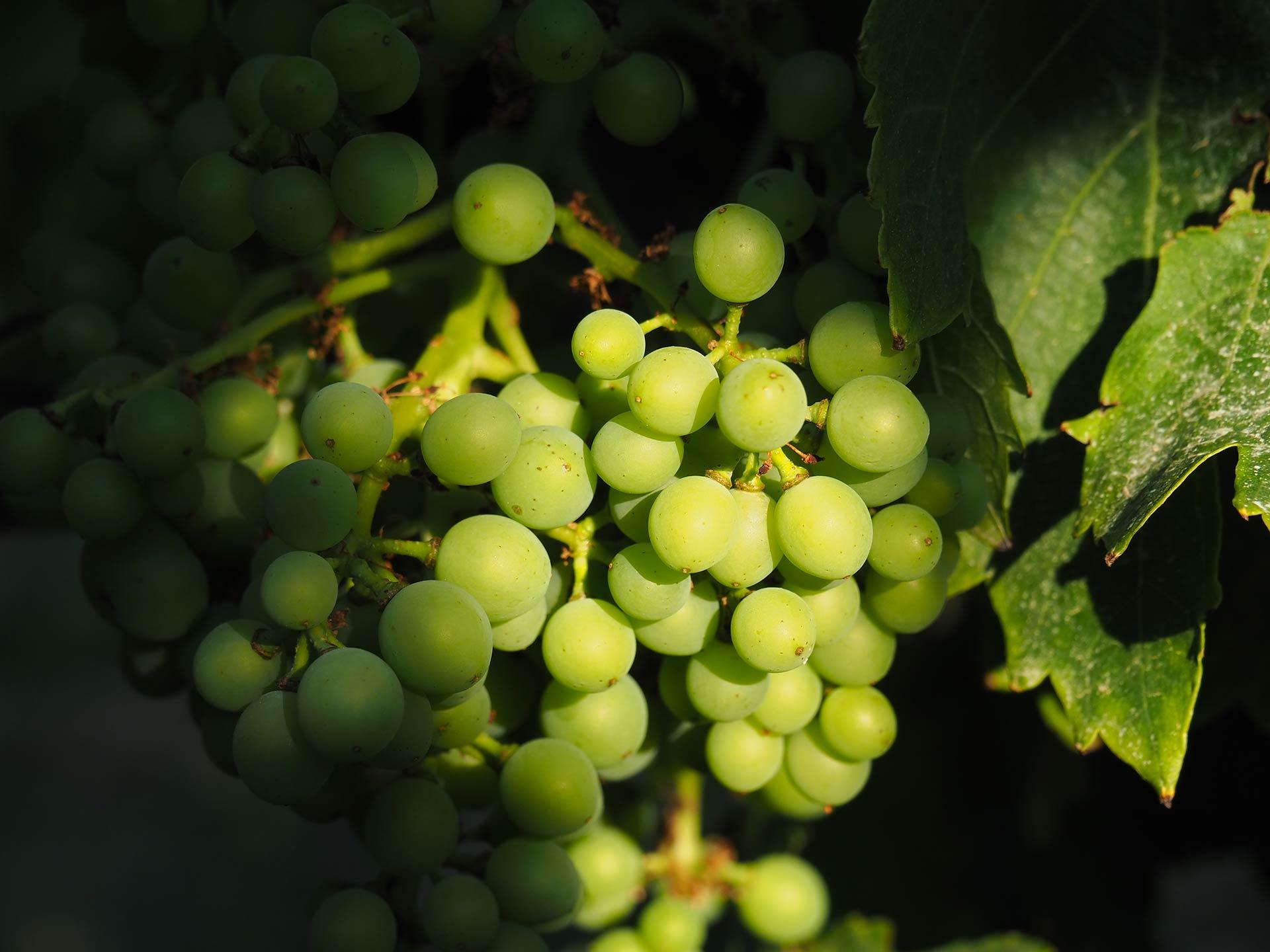 grappes raisin grenache